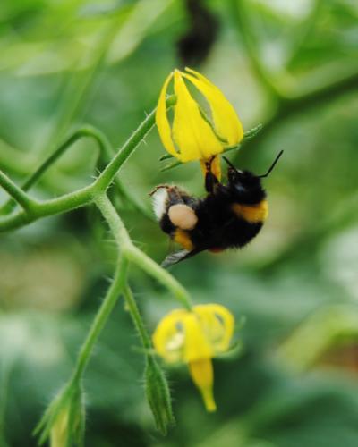 Can Puxic Polinització tomàqueres abelles