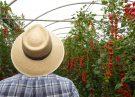 agricultors Can Puxic Tomàquet Premium