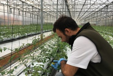 Pol·linització de les tomaqueres amb abellots