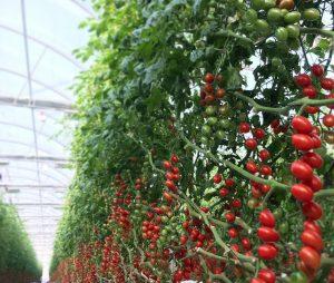 tomaqueres can puxic